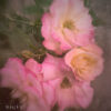 double_delight_roses_fltered