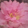 moss_rose_filtered