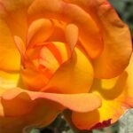 orange_rose_original