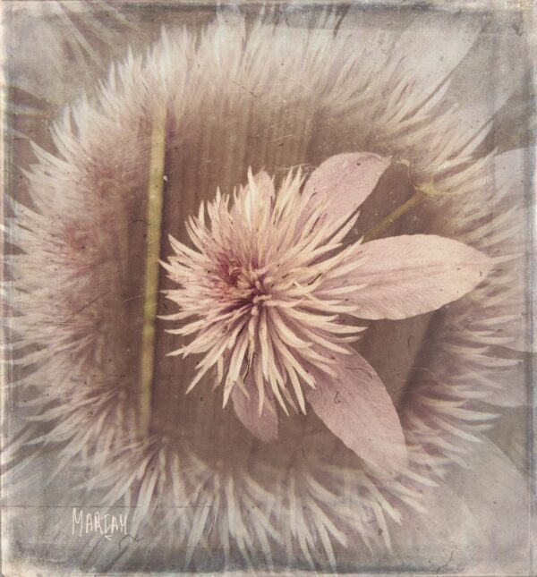pink_crystal_fountain_clematis_filterd