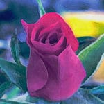 Red Miniature Rose Bud #2286