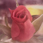 Red Miniature Rose Bud #2285