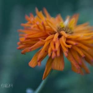 Dancing Orange Zinnia Original