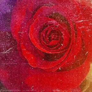 Miniature Red Rose Artistic