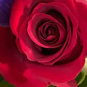 Miniature Red Rose Original