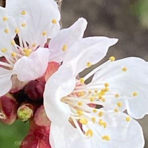 apricot_bloom_original.jpg