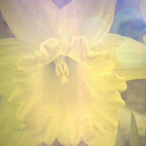 Yellow Daffodil Filtered