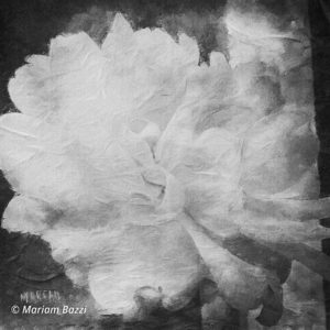 Filtered Yellow Rose B&W