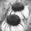 B&W ConeFlower Filered