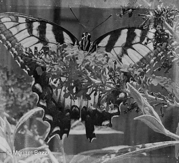 B&W Tiger Butterfly Filered