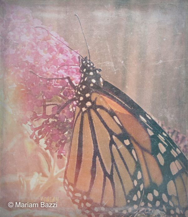 Monarch Butterfly Fitered